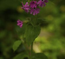 Pink Campion in Prehen Woods, Derry by George Row