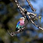 Lilac-Breasted Roller by Marylou Badeaux