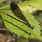 Ebony Jewelwing by Otto Danby II