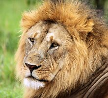 Golden Maned Lion by Jennifer Sumpton