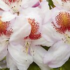 Rhododendrons in Bloom by hortiphoto