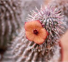 SUCCULENTS OF NAMAKWALAND - WESTERN CAPE SOUTH AFRICA 4 by Magaret Meintjes