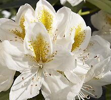 Rhododendron 'Belle Heller' Flowerhead in Spring by hortiphoto