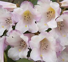 Rhododendron 'Countess of Haddington'  by hortiphoto