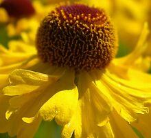 Yellow Helenium by leanajalukse