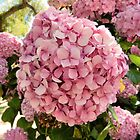 Hydrangea Beauty by debidabble