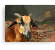 Posing Cameroon Sheep Metal Print