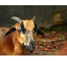 Posing Cameroon Sheep Photographic Print