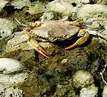 Mother of Pearl! It's Mr. Krabs! by AGODIPhoto