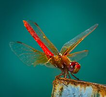 Scarlet Dragonfly by RandyHume