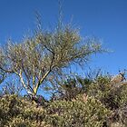 Palo Verde against Blue Sky by Roger Passman