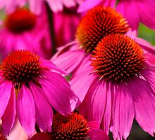 Hot Pink Beautiful Cone Flowers) by autumnwind