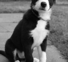 puppy collie dog by Elaine Carty