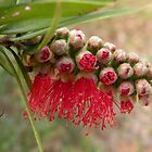 Callistemon viminalis by Trish Meyer