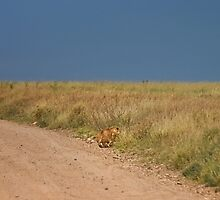 Lion in wait by Owed to Nature