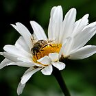 The Bee and the Daisy............ by lynn carter