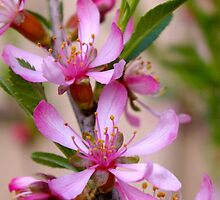 Pink Blossoms on a Bush by leanajalukse