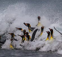 King Penguin Arrival by Steve Bulford