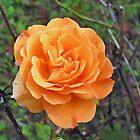 Dreamy Orange Rose - West Park by MidnightMelody