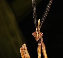 Empusa pennata male by jimmy hoffman
