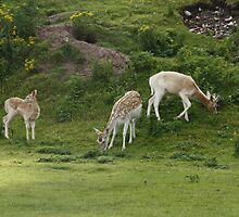 Fallow Deer Family by AnnDixon