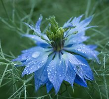 Love in a Mist (dedicated to Lynn Carter) by Lynn Gedeon