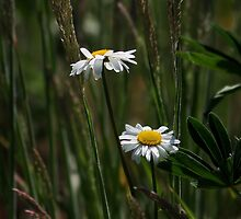 Daisies in the Grass by AnnDixon