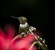 Hummingbird Perched On Vine by Christina Rollo