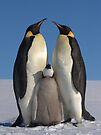 Emperor Penguins and Chick - Snow Hill Island by Steve Bulford