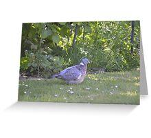 Ruffled Pigeon  Greeting Card