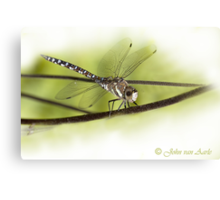 ...its a small World ..the 'libella /dragonfly'  Canvas Print