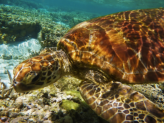 Snorkeling with a Green Turtle  by Jaxybelle