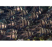 Banggai Cardinalfish School Photographic Print