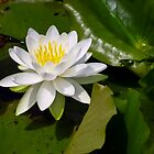 Water Lily on Sandusky Bay by SRowe Art