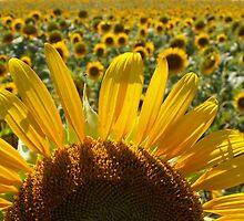 Sunflower Fields by Jackie Popp
