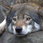 European wolf by TheaDaams