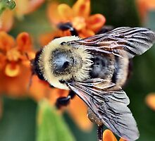 Huge Bumble Bee by Keala