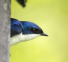 Male Tree Swallow in Nestbox by Christina Rollo