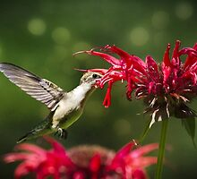 Hummingbird Indulgence by Christina Rollo