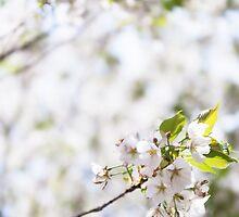 White cherry blossom flowers art photo print by ArtNudePhotos