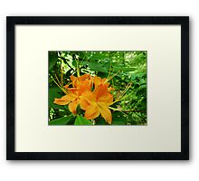 Flame Azalea Framed Print