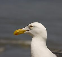 Portrait of a Seagull by Buckwhite