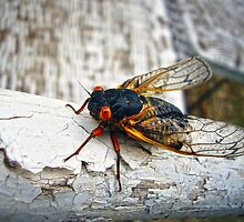 Red Eyed Cicada by Susan S. Kline