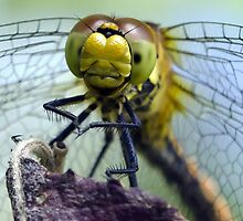 Dragonfly by Paul Spear