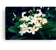 White Frangipanis Canvas Print