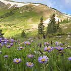 Colorado Wildflower Photography - Purple Asters near the Continental Divide by RobGreebonPhoto