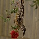 Early Morning Diner - Red Wattlebird by Sandra Chung