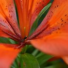 Ant on Tiger Lily by Shauna  Kosoris