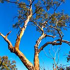 One Eucalypt by indiafrank