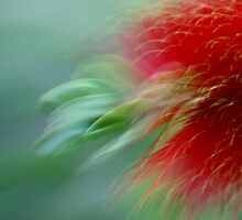 Bottlebrush in Focus by Syllyred